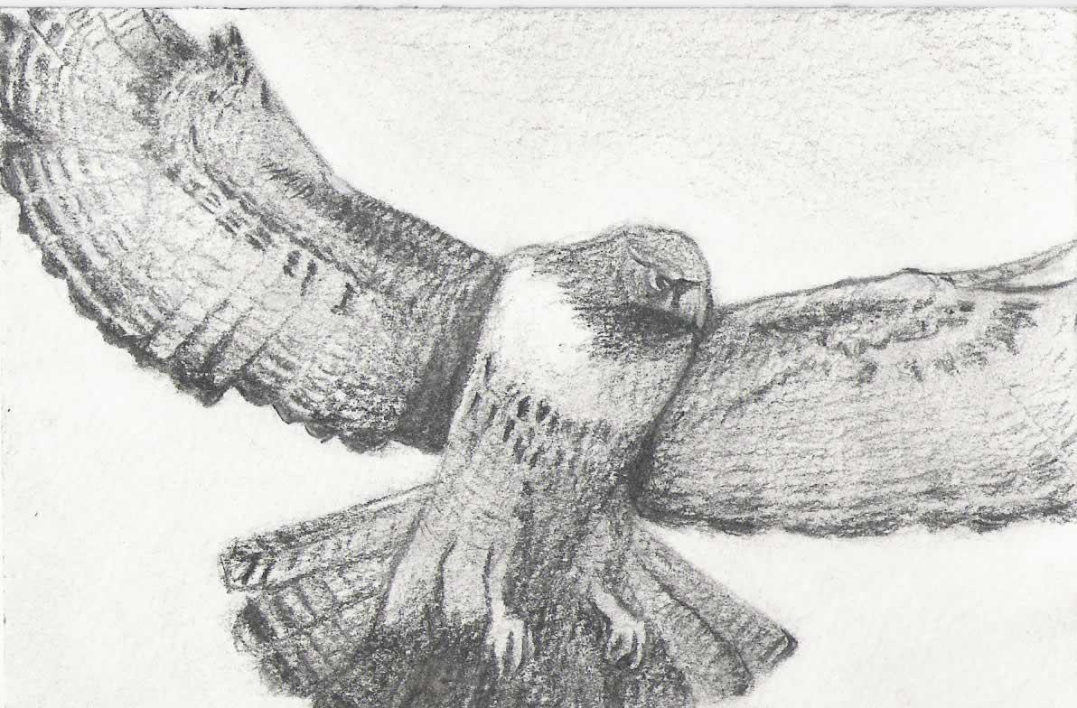 flying falcon drawing - HD1192×784